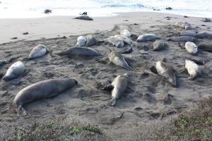 elephant seals molting
